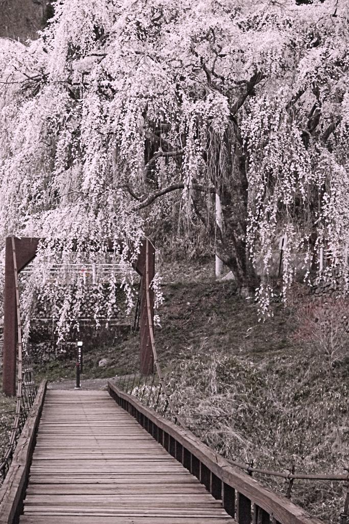 京北 魚ヶ渕吊り橋の桜の写真素材