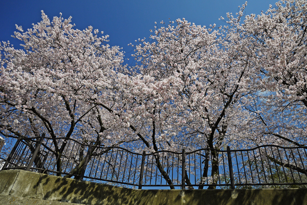 京都 山科川の桜のフリー写真素材