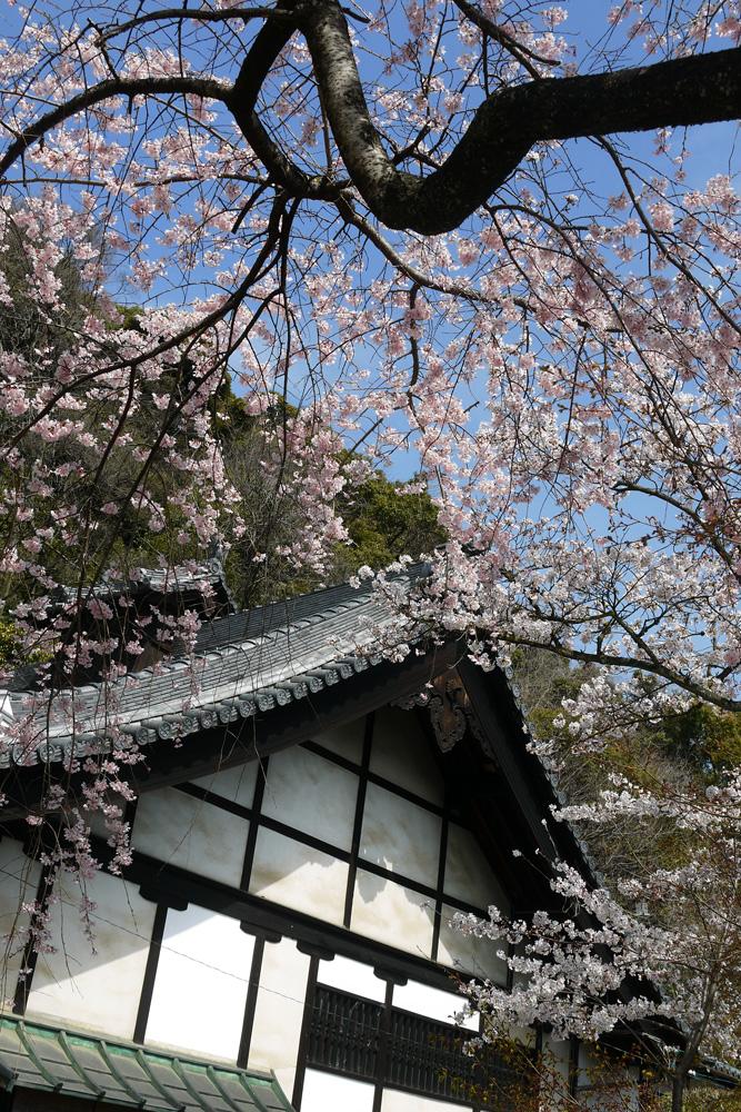京都 山崎聖天 桜