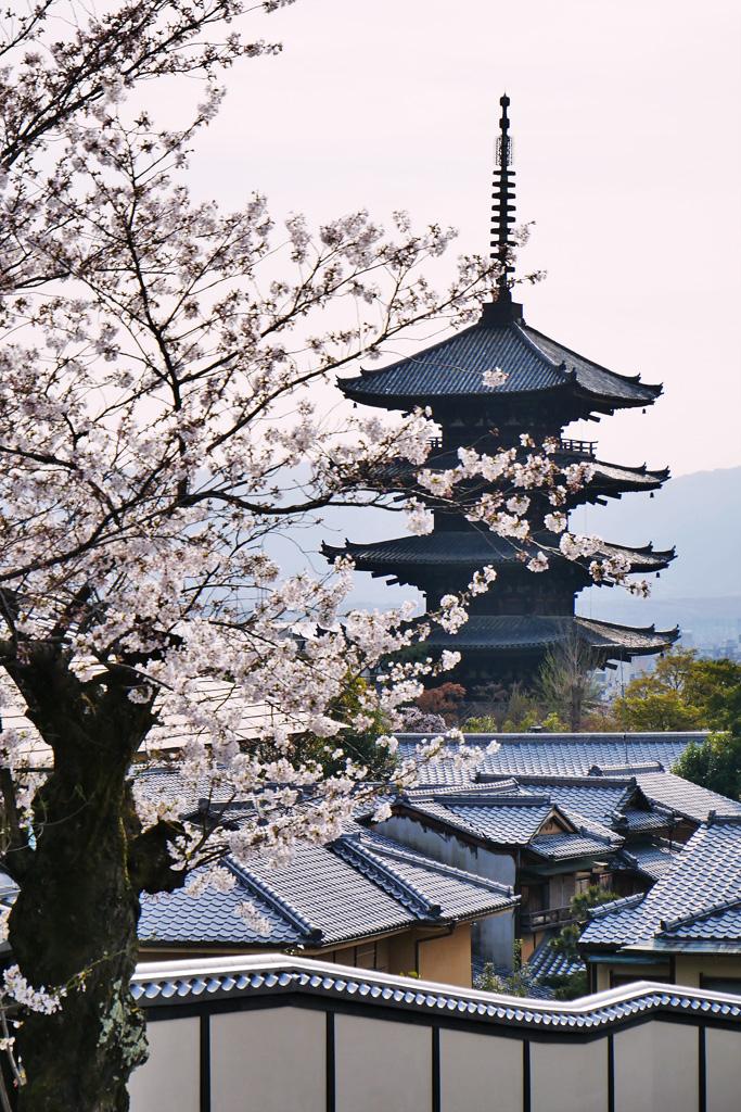 京都 法観寺(八坂の塔)と桜のフリー写真素材