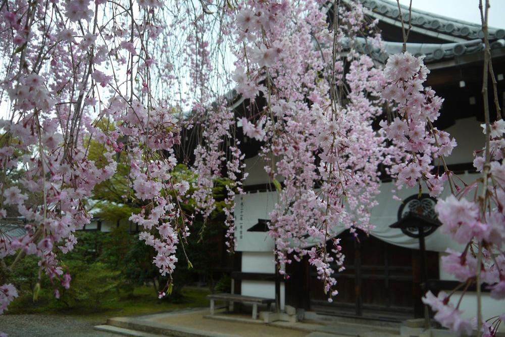 京都 養源院の枝垂桜