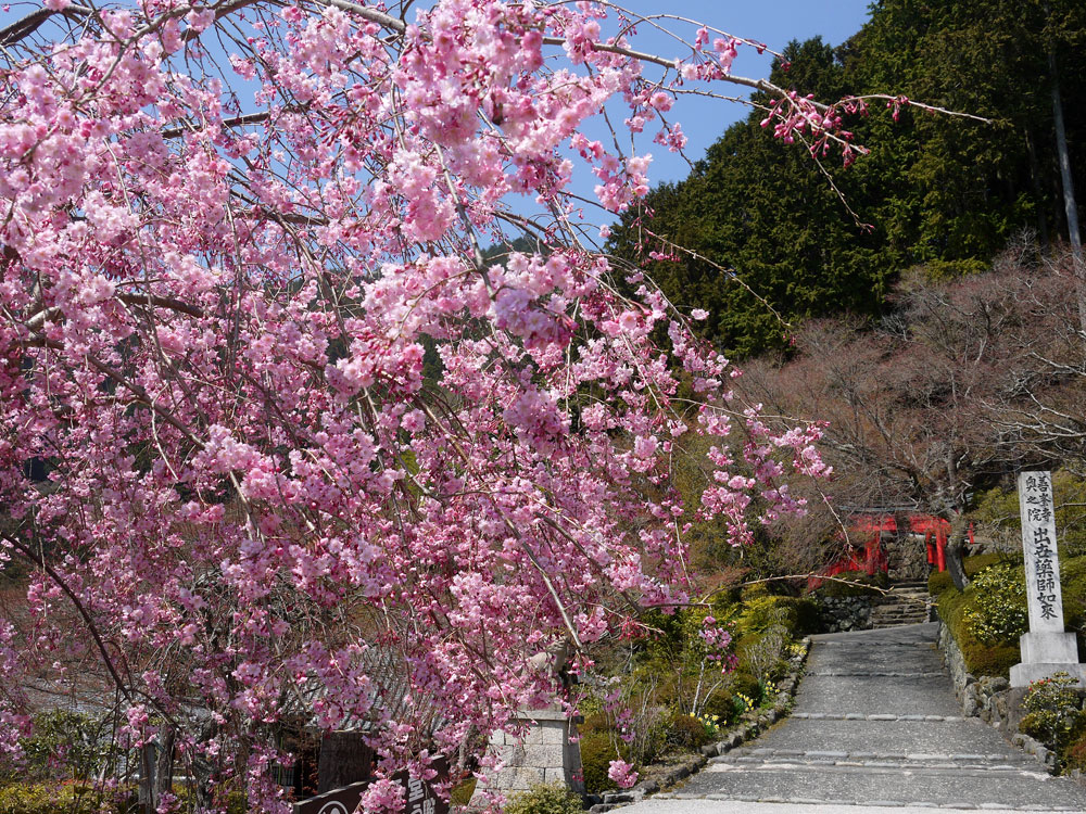 京都 善峯寺の桜