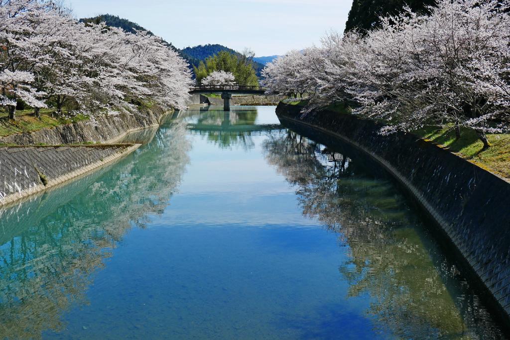 京北 弓削川 桜のフリー写真素材