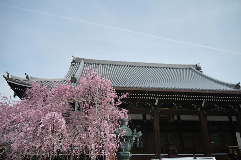 京都 宥清寺の桜