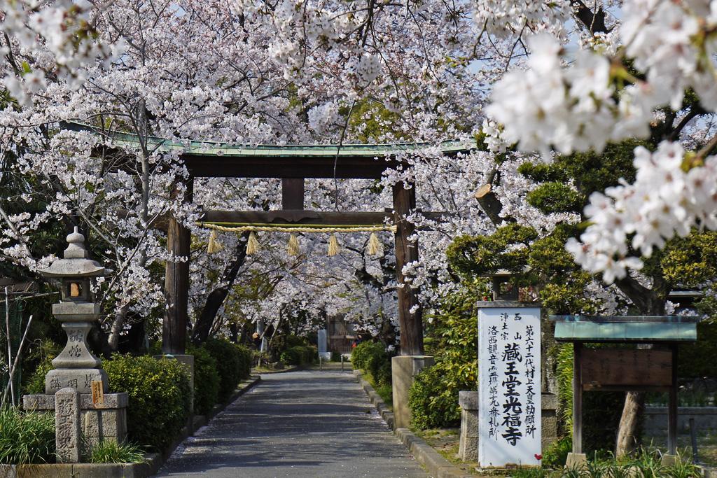 京都 蔵王堂光福寺の桜のフリー写真素材