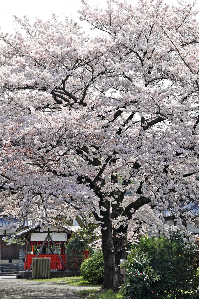 京都 善願寺 桜のフリー写真素材