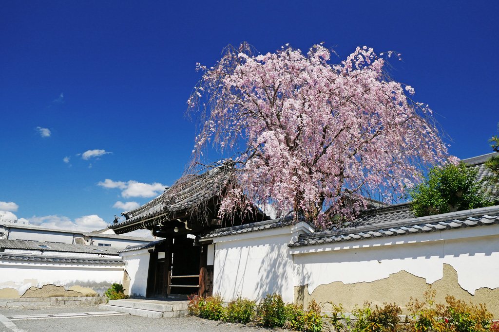 京都 善明院の桜