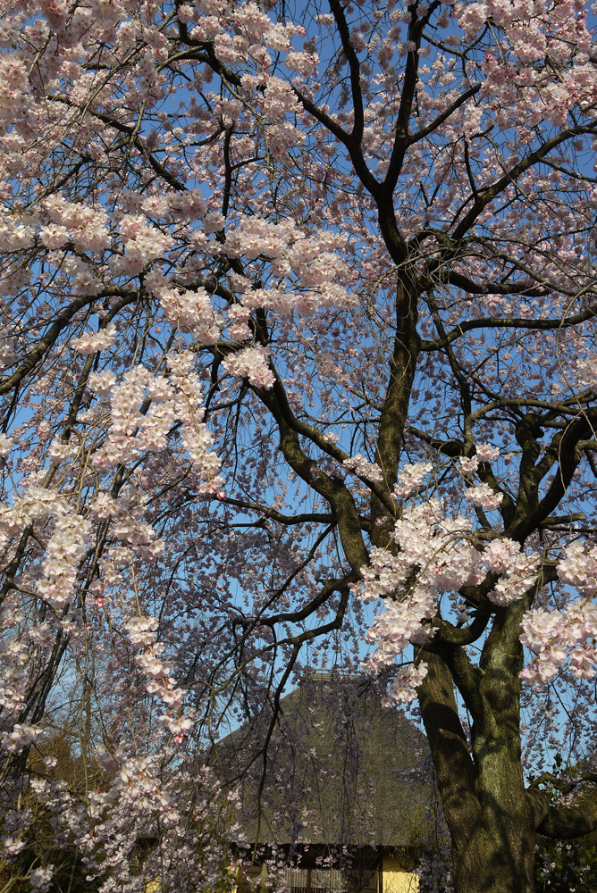 京都 瑞光寺の桜